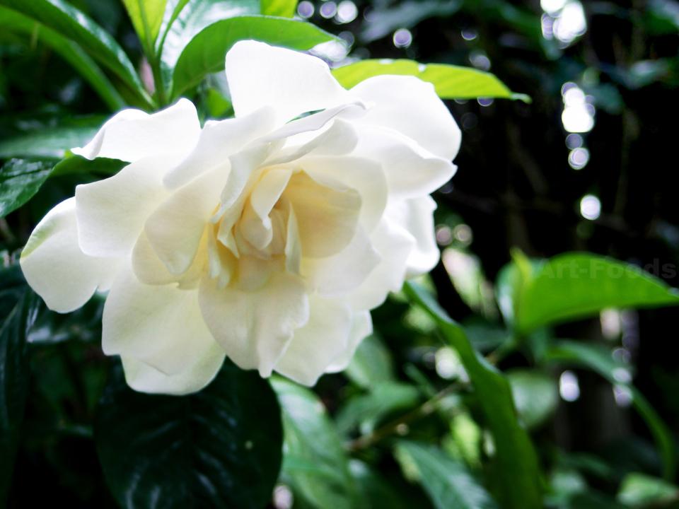 八重咲の梔子満開-2_180702