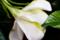 八重咲梔子の花弁ウラ側_180703