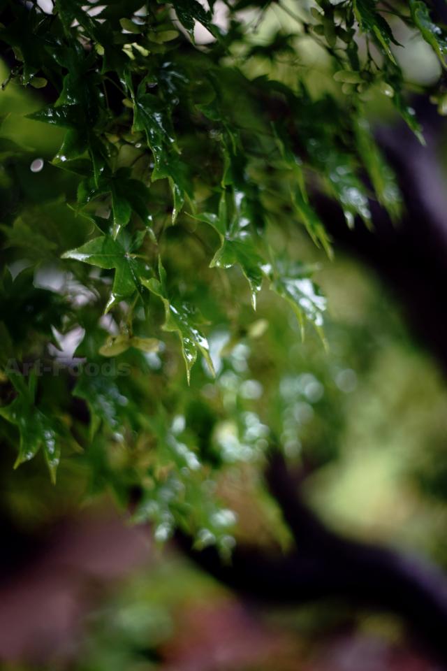 雨に濡れる楓_180706
