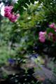 庭風景_180813_セージとサルスベリ