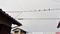 電線に鳥たち_180903