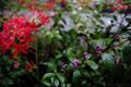 雨の庭風景_180916_ムラサキシキブ