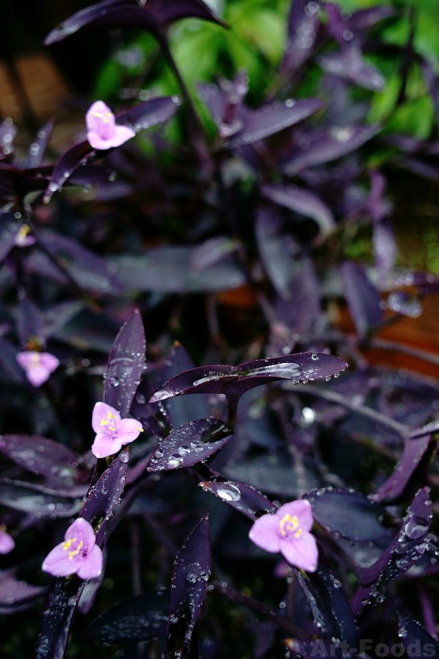 雨の庭風景_180916_パープルハート