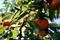 色づく柿_180923