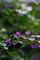 雨の庭風景_180929_ムラサキシキブ