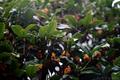 雨の庭風景_180930_キンモクセイ