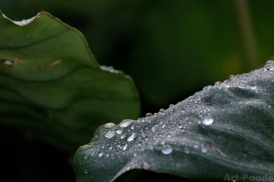 サトイモの葉に朝露_181021