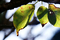 梅の枯葉_181021