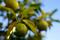 庭風景_181021_色づいてゆく柚子