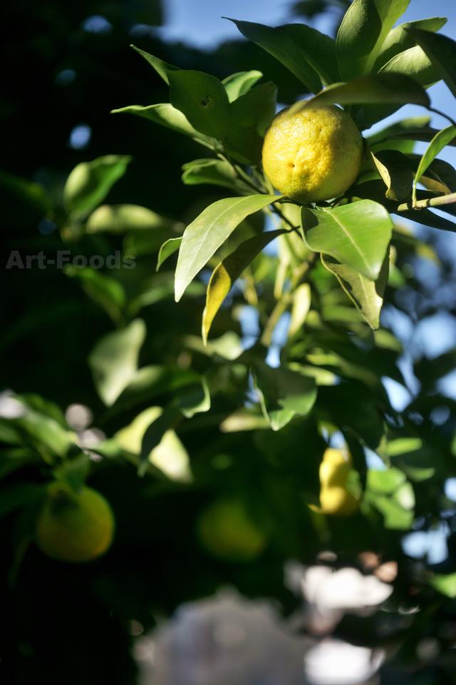 庭風景_181029_色づき深まる柚子
