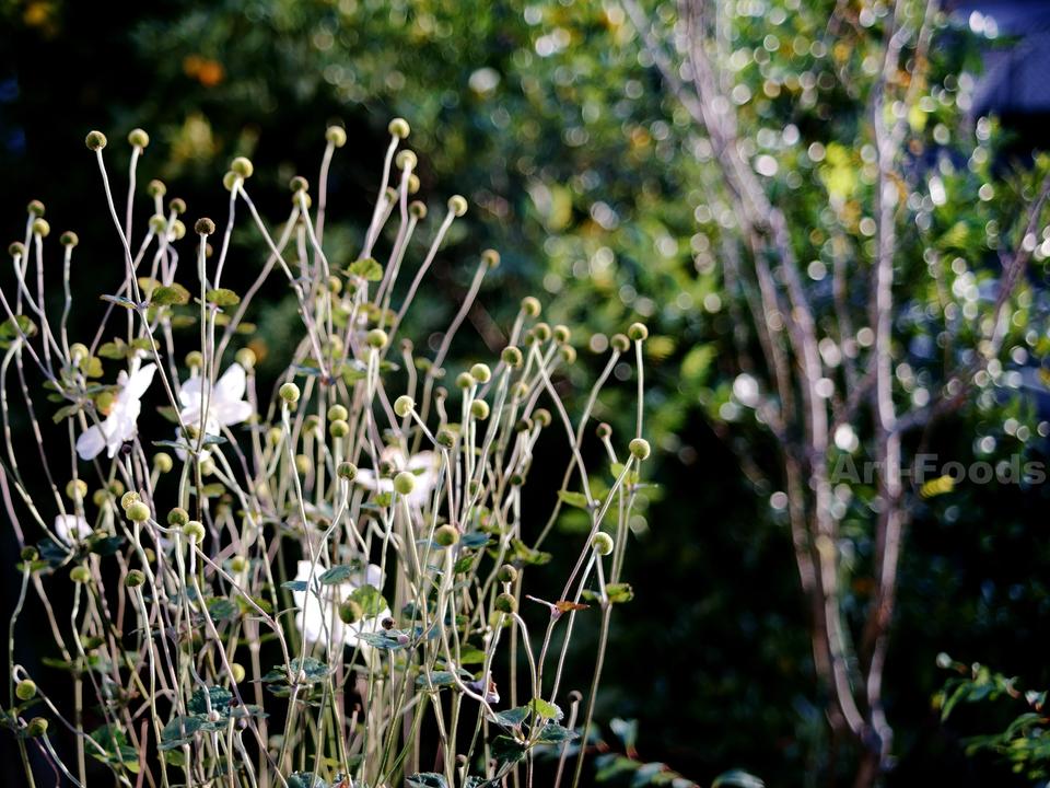 庭風景_181101-アネモネの午後四時