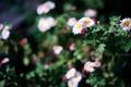 庭風景_181104_キクret