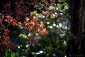大寒の庭風景-楓の枯葉_190202