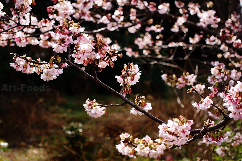 蒲原の早咲き桜_190205