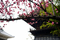 建中寺境内の八重桜_190310