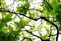 柿の葉新緑_190501