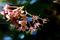 楓の花_190502