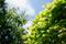 楓の新緑_190502