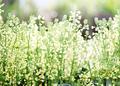 スプレーブロッコリの花_190503