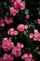チャップリンの薔薇_190516