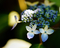 五月の庭風景-ヤマアジサイ_190525