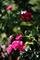 五月の庭風景-バラ_190525