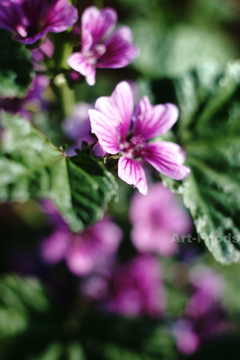 五月の庭風景-マロウ_190526