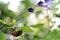 セージの葉にセミの抜け殻_190803