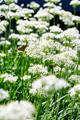 ニラの花とチョウ_190915