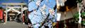 尾張猿田彦神社の寒桜_191110