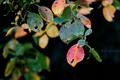 雨の庭風景-ドウダンツツジの紅葉_191128