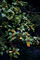 雨の庭風景-梔子の実の色づき_191128