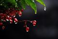 雨の庭風景_191202_万両