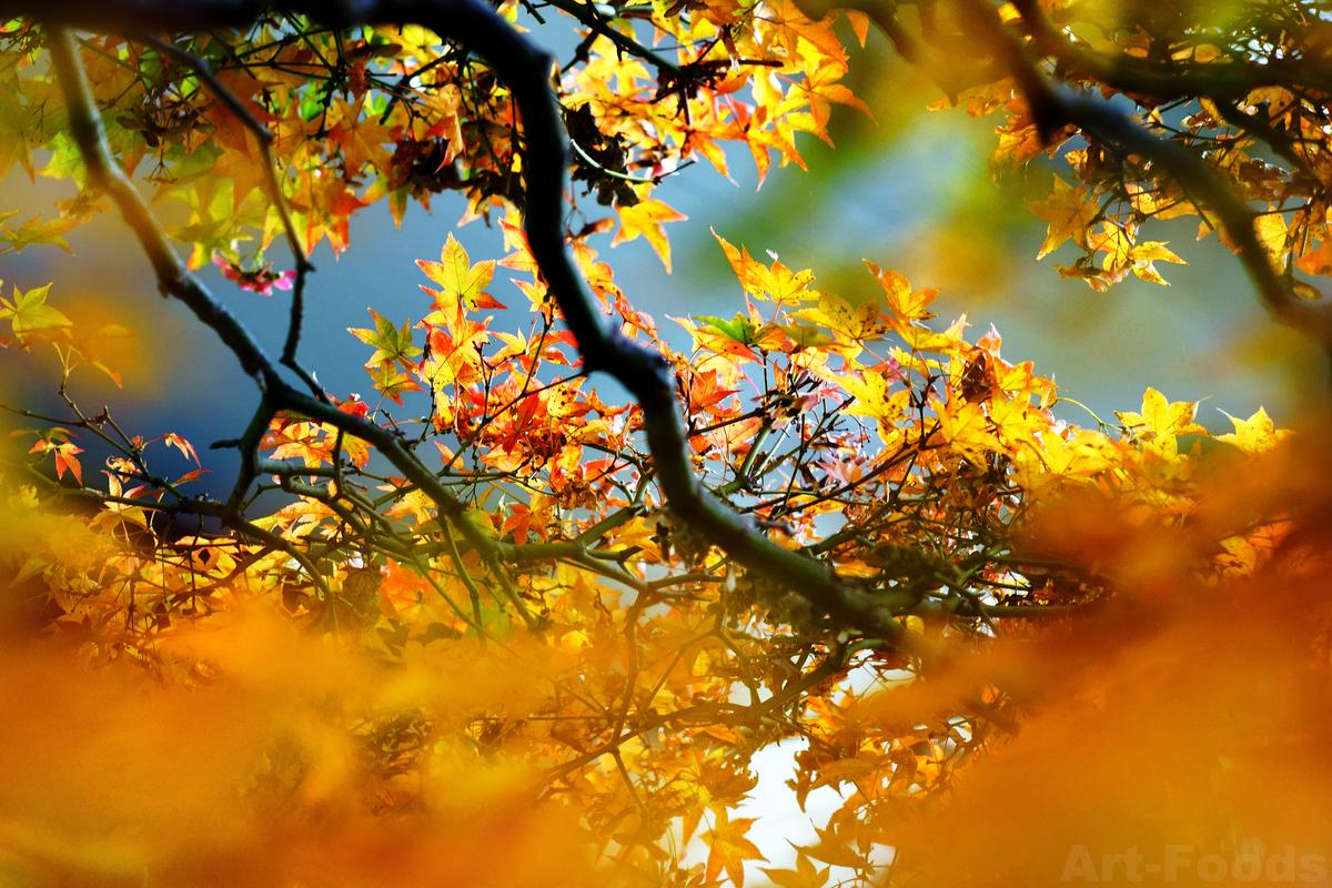 楓の紅葉_191214
