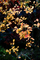 黄金色のドウダンツツジ_191207