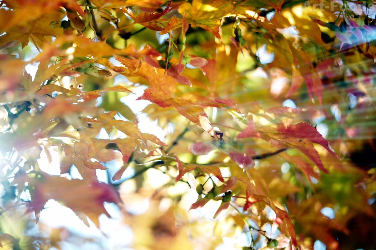 楓の紅葉-2@IDTR-10_191217