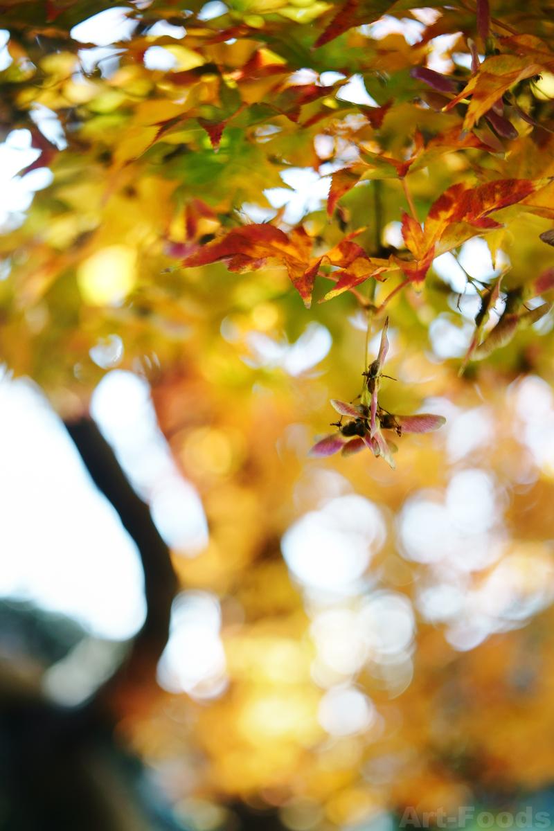楓の紅葉-3@IDTR-10_191217