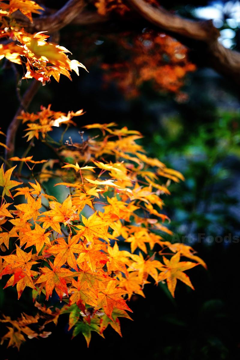 楓の紅葉_191220