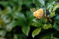 鉢植えの黄バラ_191222