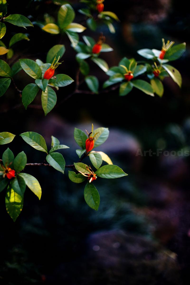 大晦日の庭-梔子_191231