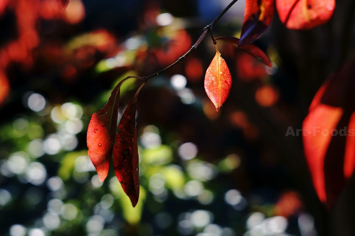 檀の紅葉_200102