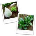 菜園の青梗菜とレタス_200112