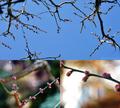 梅の花蕾_200119