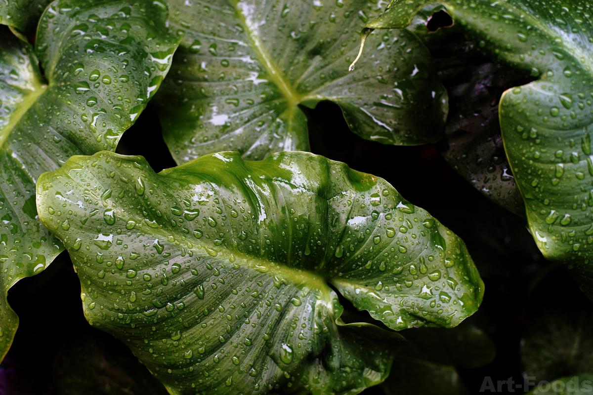 雨の庭風景_200128_カラーの葉