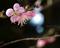 庭乃梅-2_200202