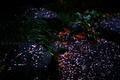 雨に散る梅_200214