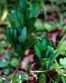 庭風景_200301_リコリスの新芽