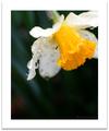 雨の庭風景-スイセン_200310