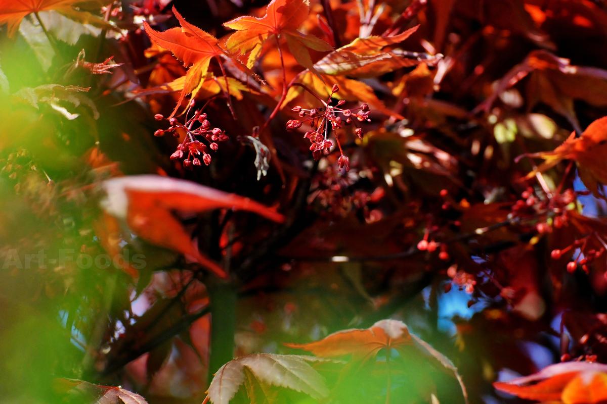 イロハモミジの花_200408