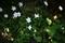 ハナニラは柚子の木の下_200408